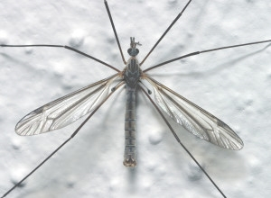 Crane fly adult