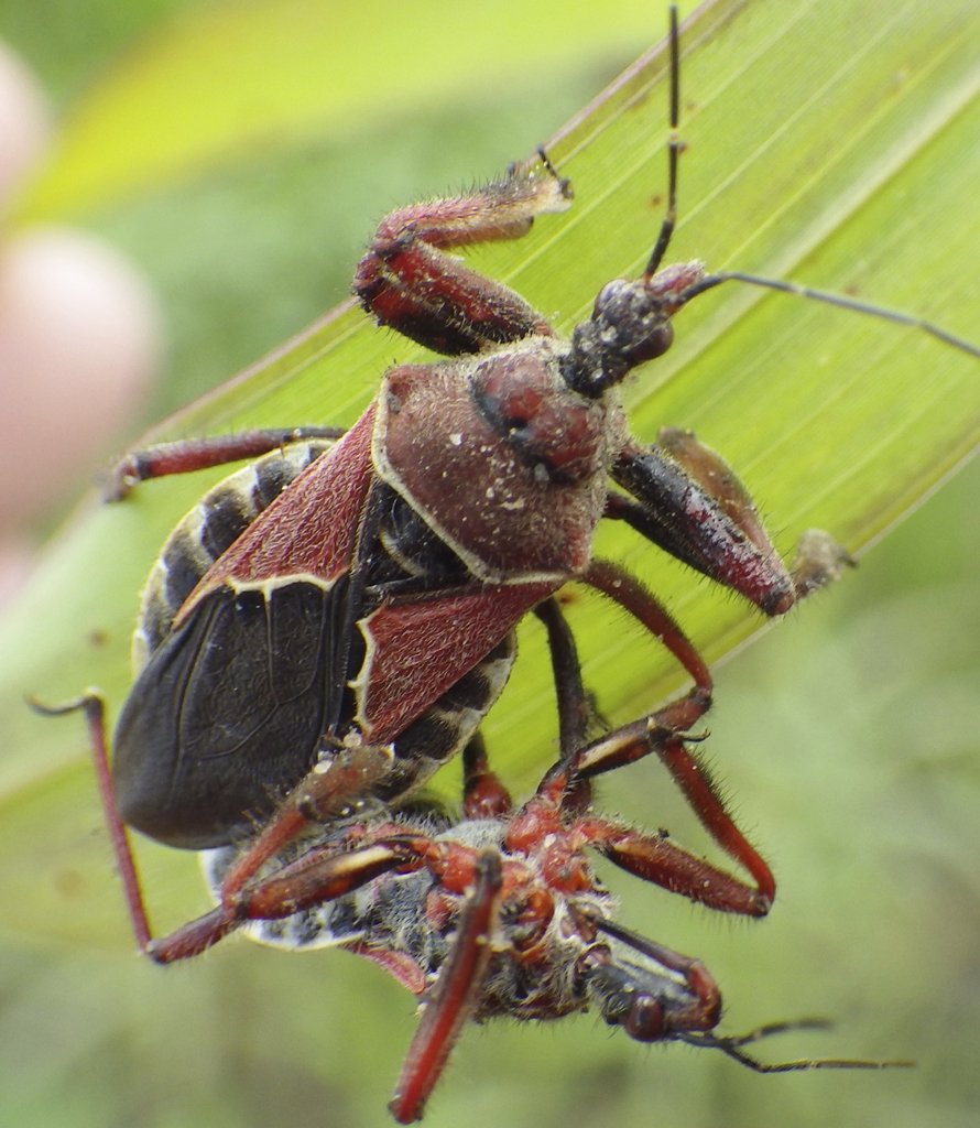 Bee assassin bug