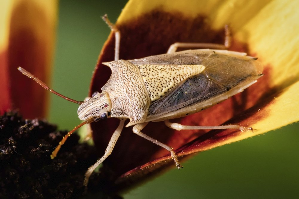 Rice stink bug