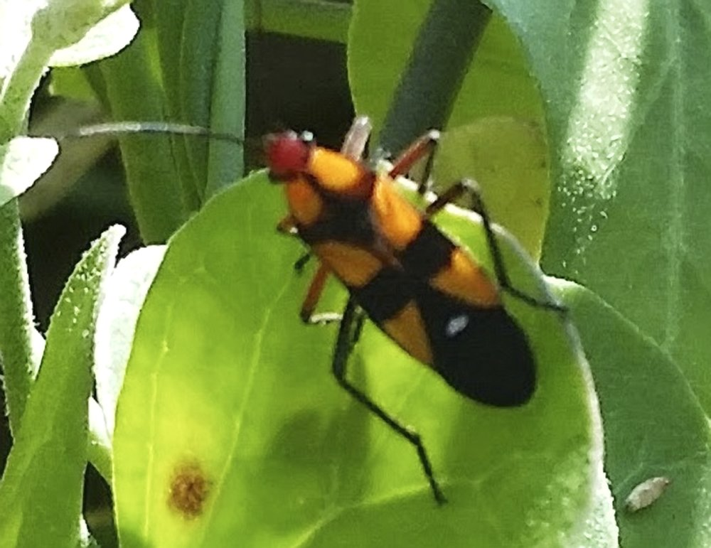 Six-spotted milkweed bug