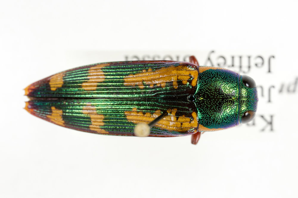 Red-legged buprestis (Buprestis rufipes)