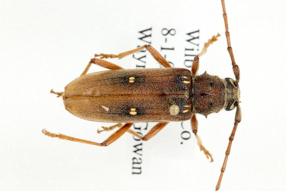 Iberia haldemoni, a longhorned beetle