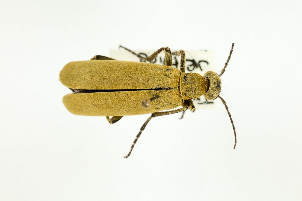 Blister beetle Epicauta imaculata