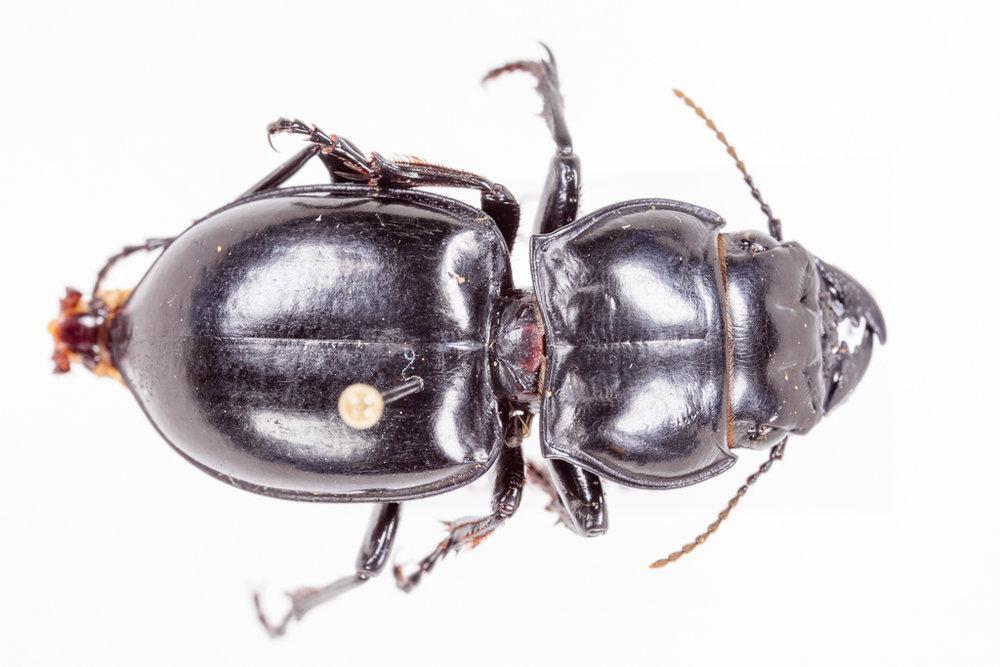 Pasimachus ground beetle