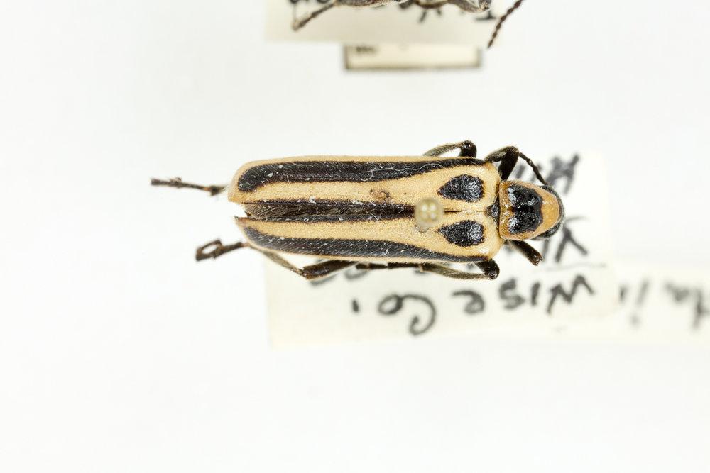 Pyrota invita blister beetle