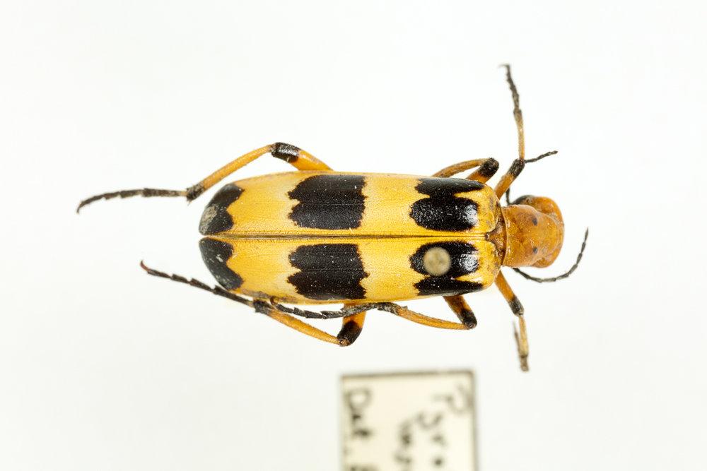 Pyrota palpalis - Charlie Brown Blister Beetle
