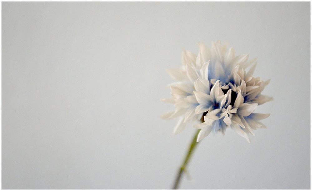 Fading cornflower.jpg