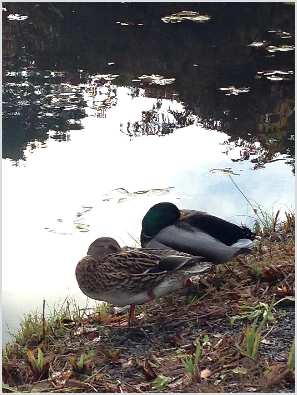 Ducks in Wisley Gardens