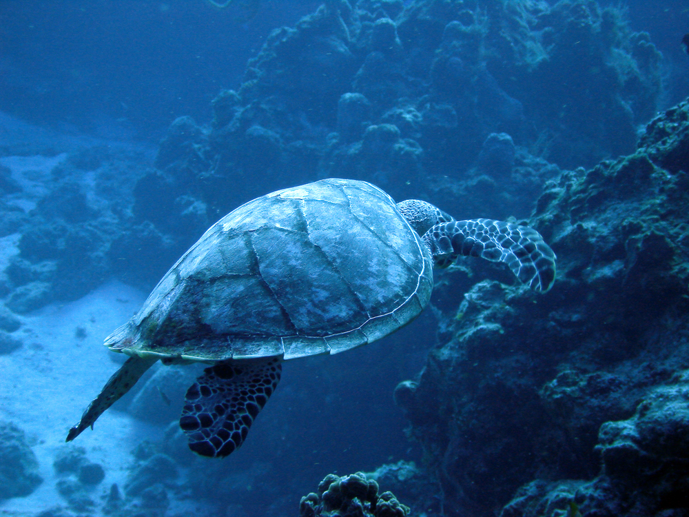 Sea Turtle in Cozumel