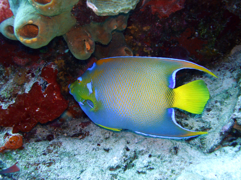 Queen Angel Fish in Cozumel