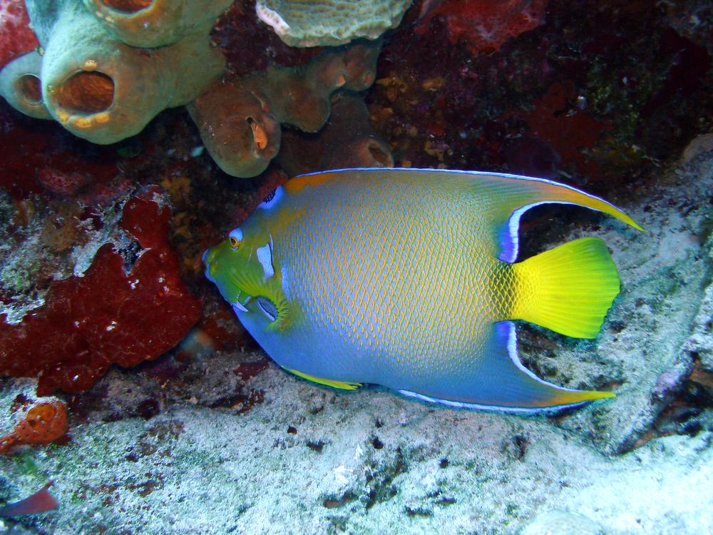 Queen Angel Fish in Cozumel