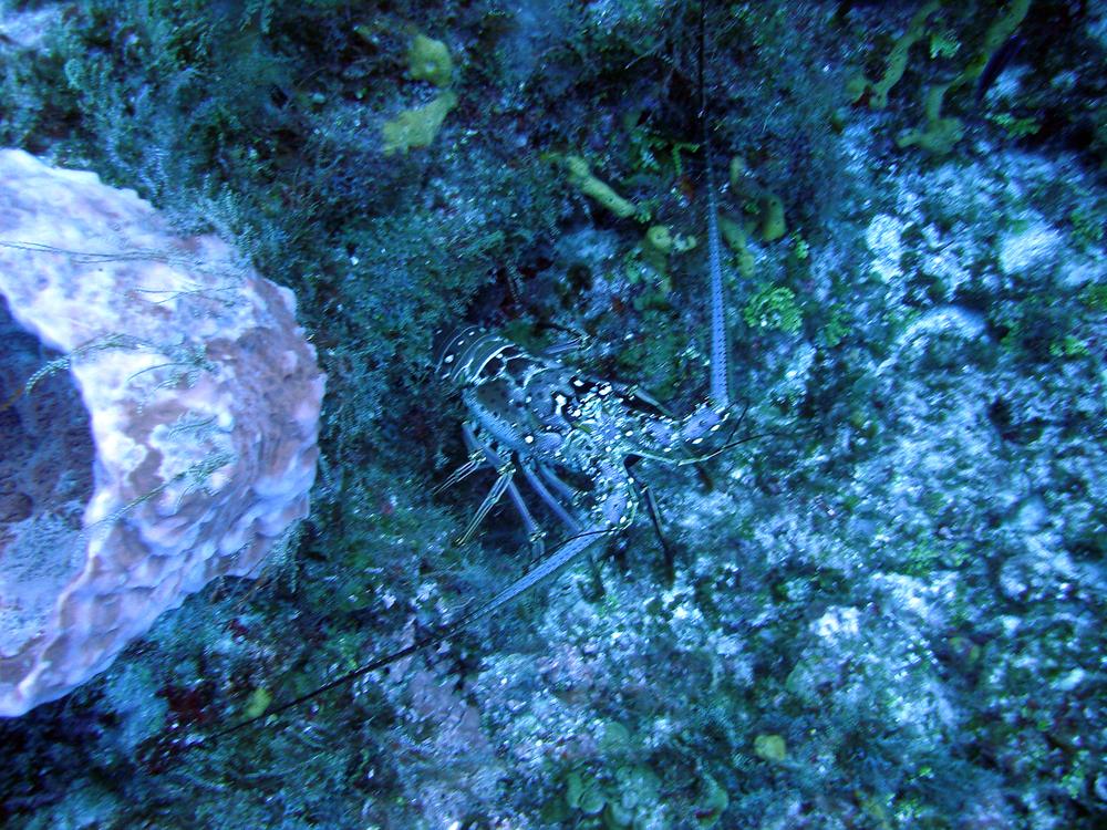 Lobster in Cozumel