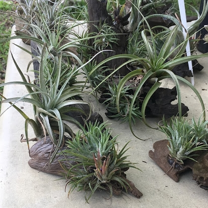 ninth ward nursery air plants cypress