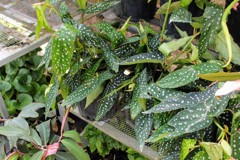 angel wing begonia1.jpg