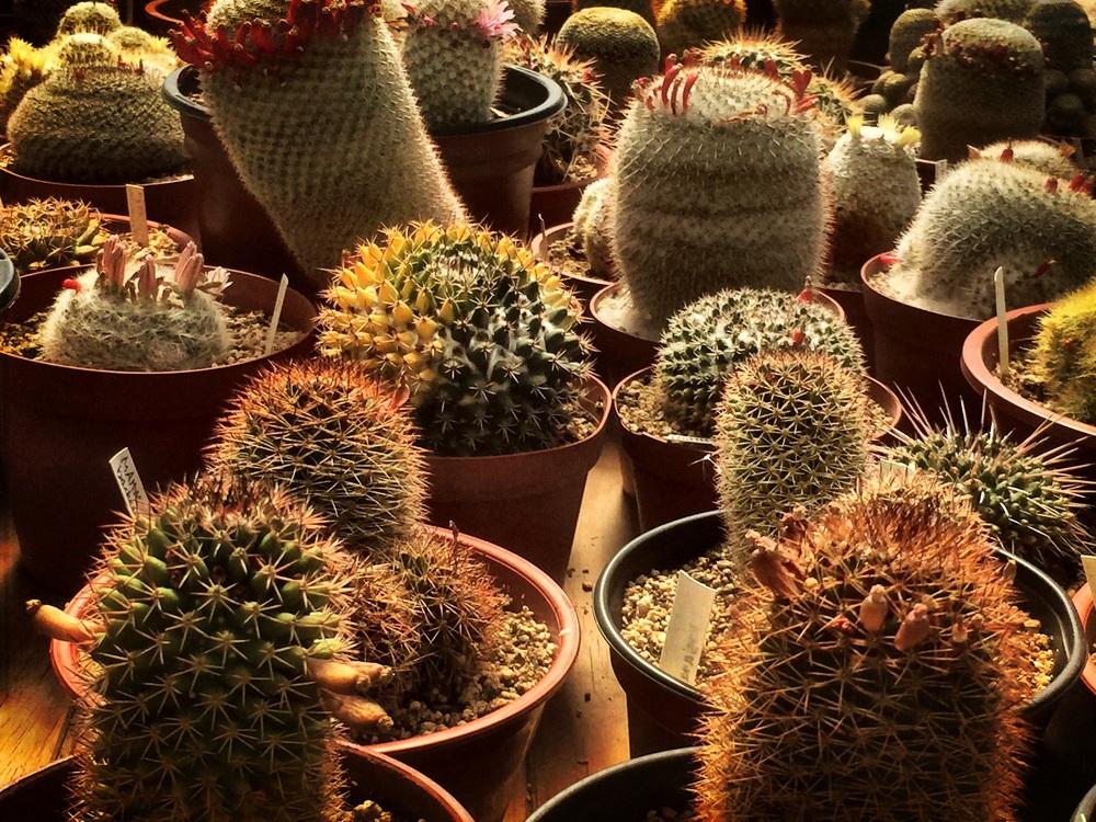 Más de 3000 variedades de cactus