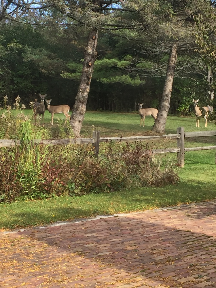 Deer in our backyard a couple of weeks ago - the most thrilling moment of the day.