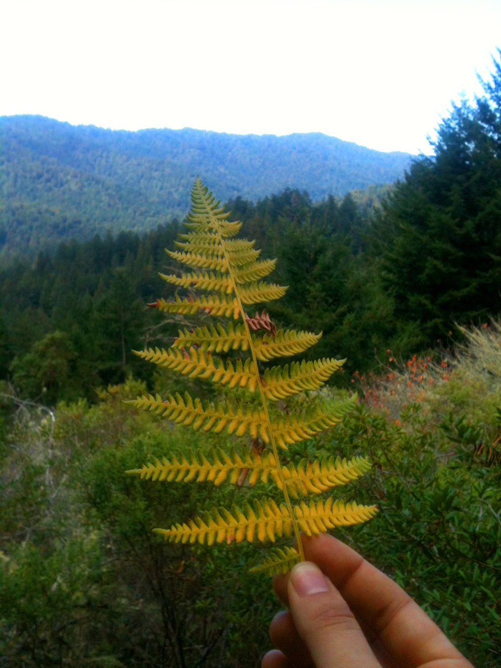 I was overwhelmed by the yellow green of this drying fern against the layers of blue and green mountains.