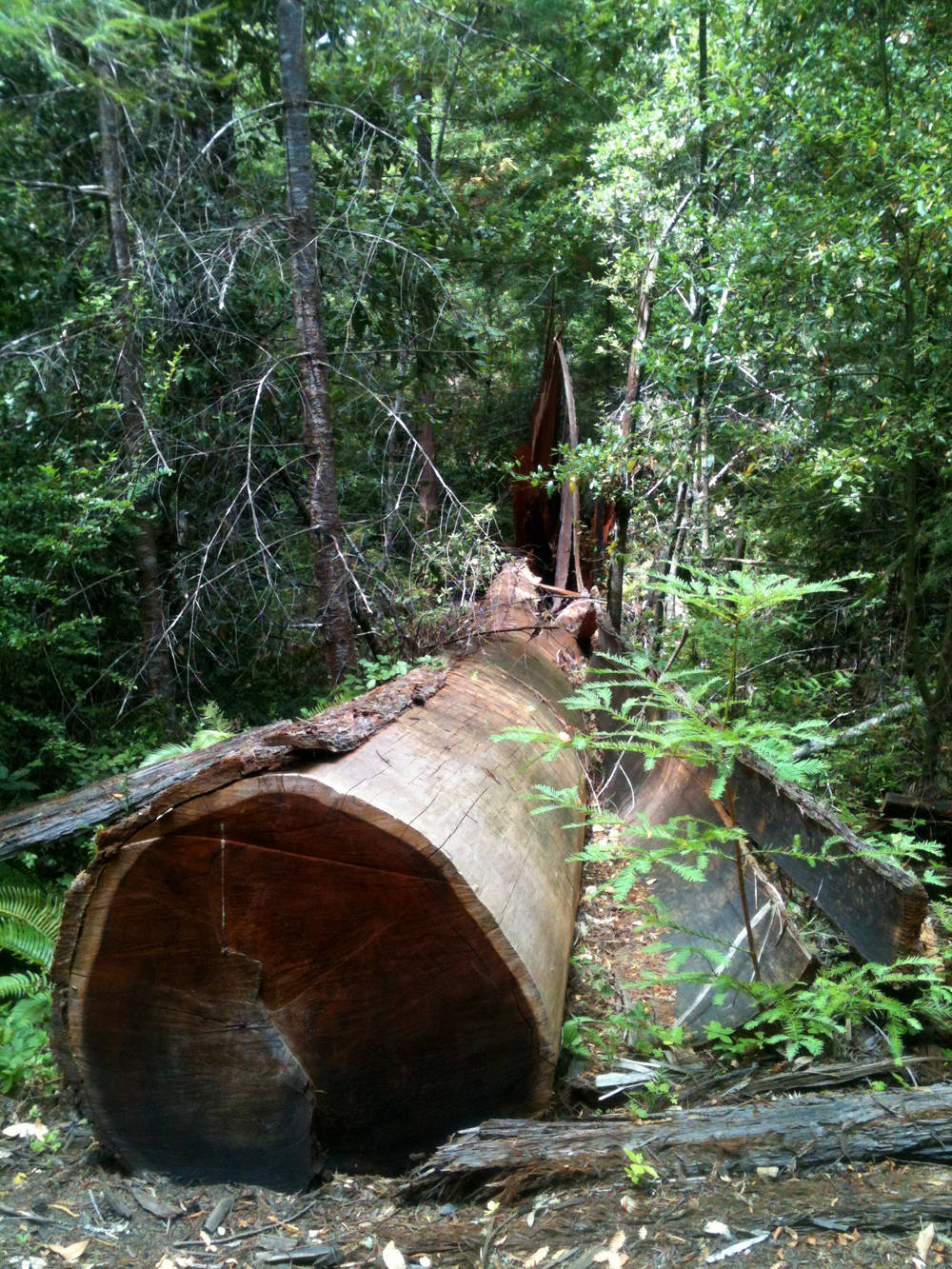 Lightning took down some redwoods in this grove. I can't imagine watching this massive trunk fall.