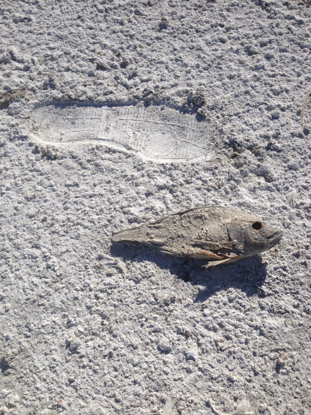 Salton Sea shoe and fish.JPG