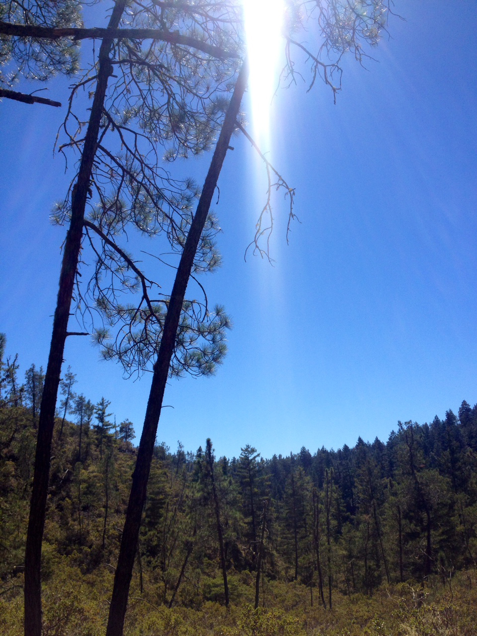 Big Basin pines.