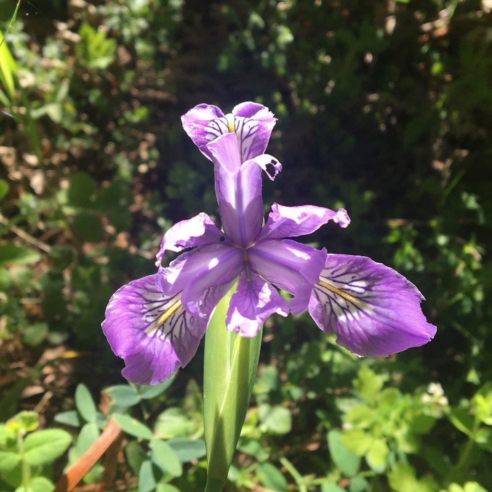 These Douglas Iris were everywhere