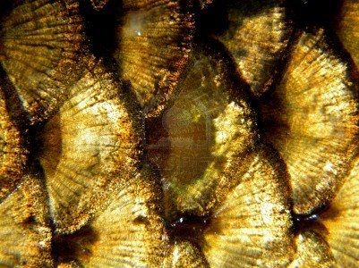 14798304-golden-fish-scales.jpg