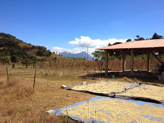 The beneficio with coffee drying. Volcan Picaya is in the background