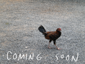 coming_soon_chicken.png
