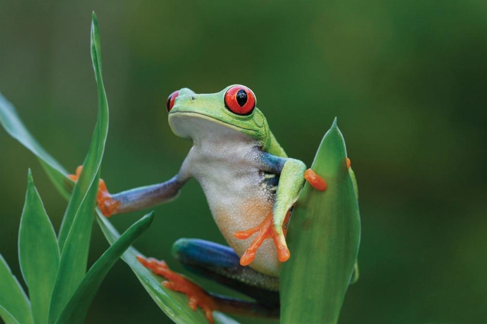 costarica_treefrog.jpg