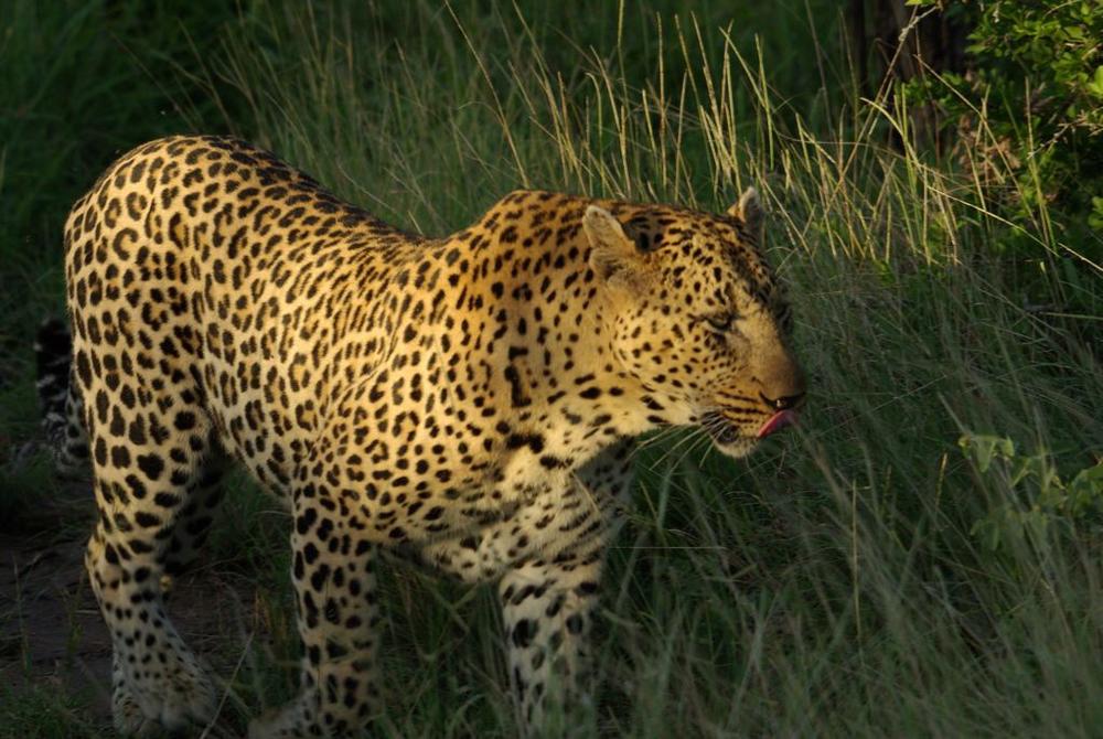 leopard_sunset.jpg