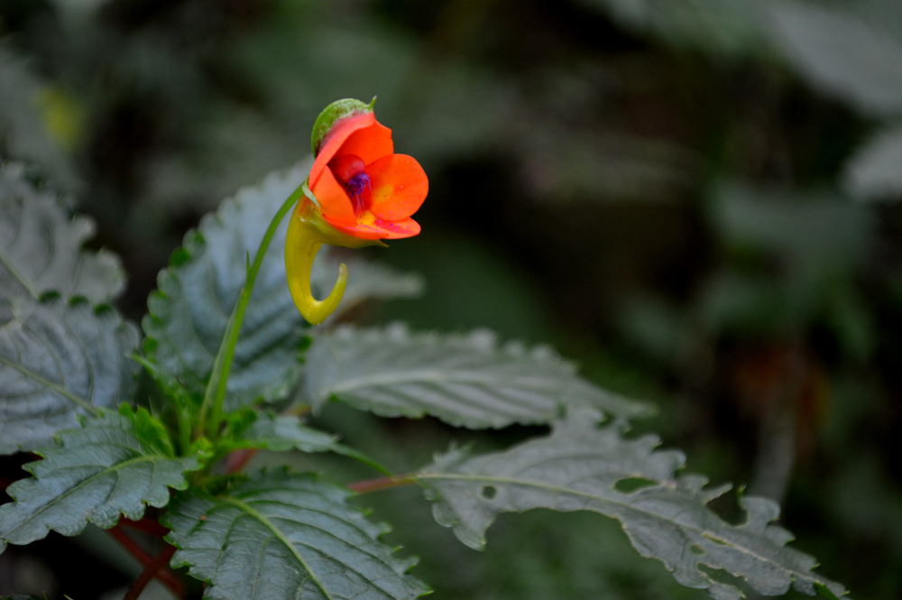 "The star of the rain forest zone is the beautiful flower Impatiens kilimanjari, a dazzling bloom of red and yellow in the shape of an inch-long tuba, also known as the ""elephant's trunk."""