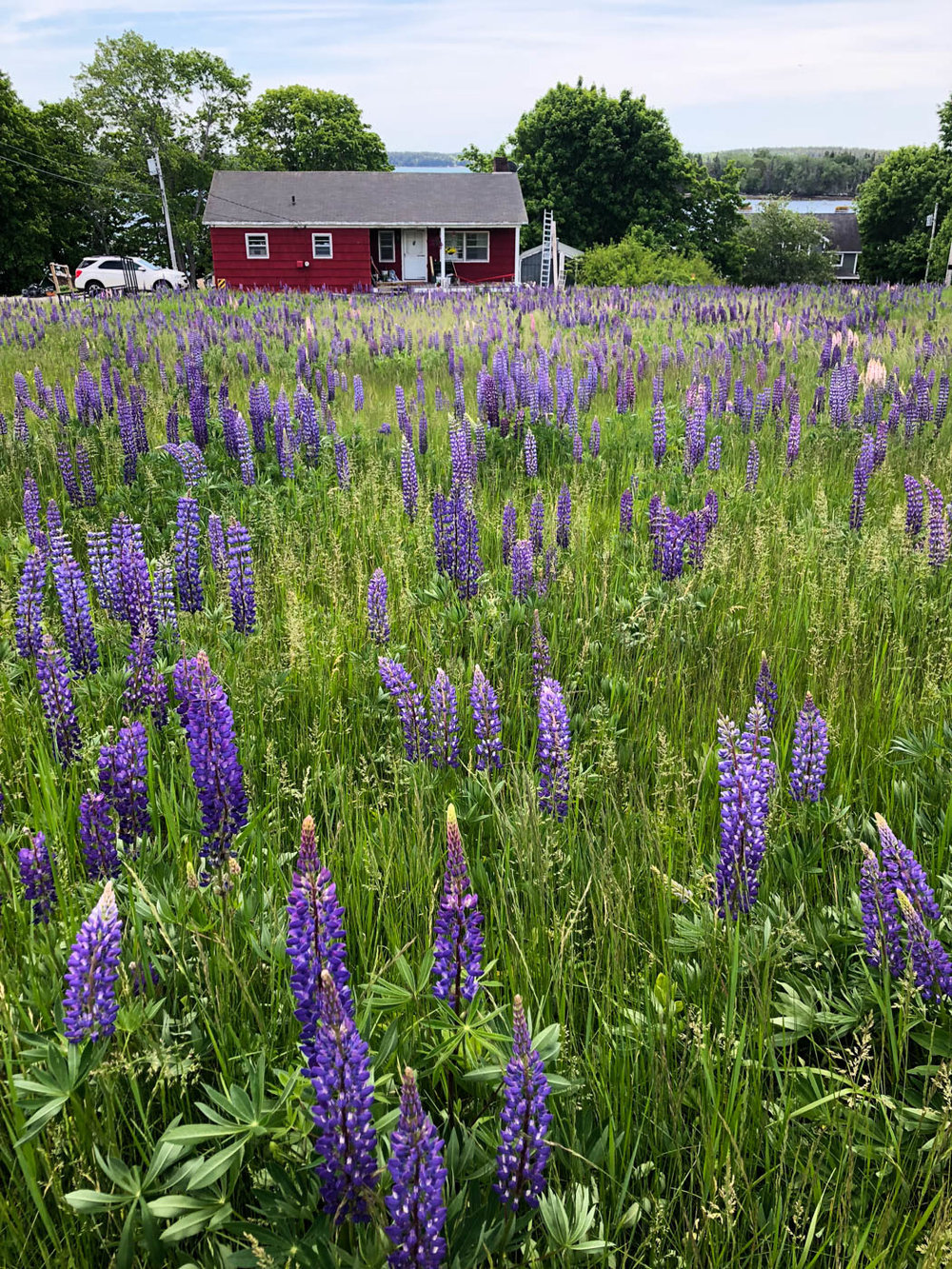 Lupin field in Friendship, Maine.