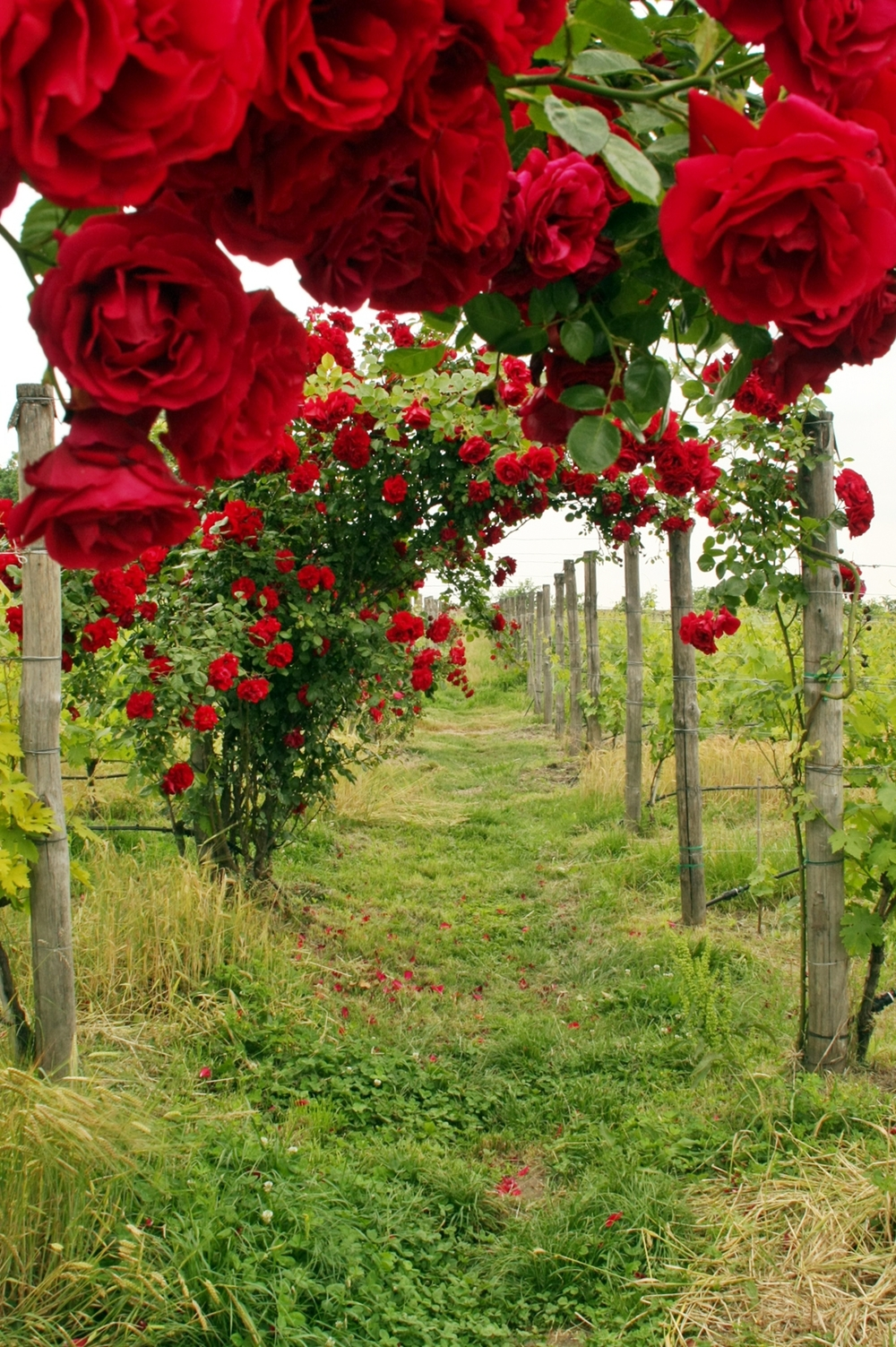 Roses in Vineyard