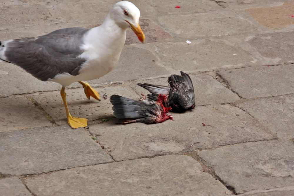 Gull with Pigeon