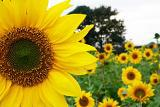 160x107yellowsunflower.jpg