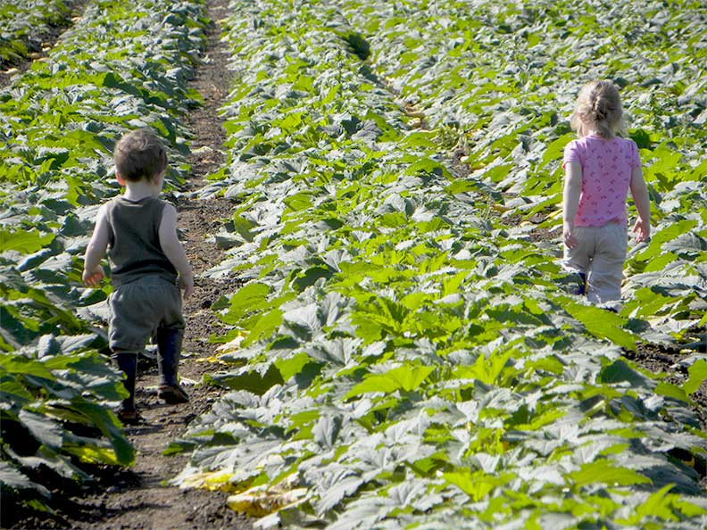 Young Mosbys walking in the zucchini field.