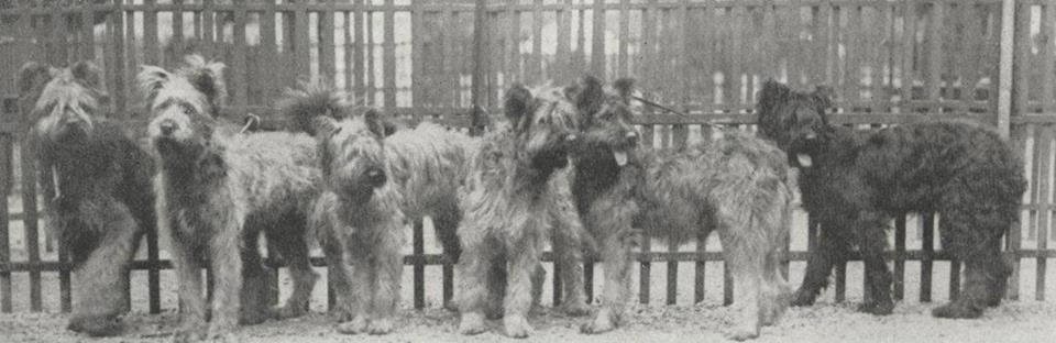 Lots des chiens de Brie - 54e Expo Canine Paris 1928.jpg