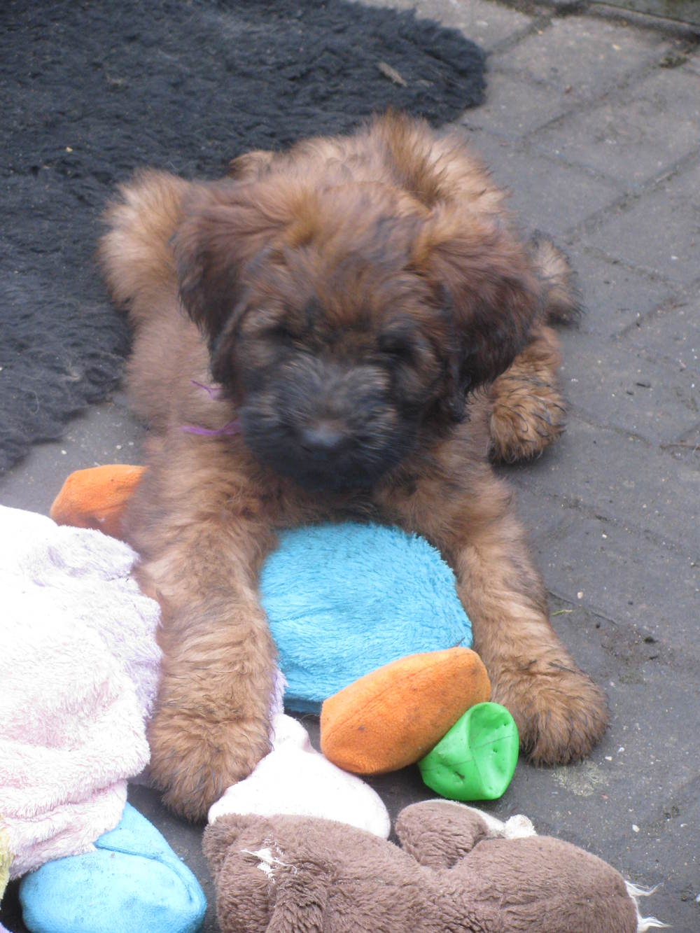Lana x Buzz pups 8 weeks 053.JPG