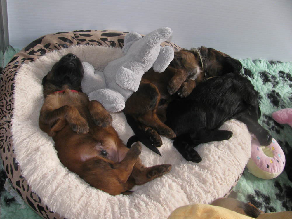 Ella x Dougal Pups 032.JPG