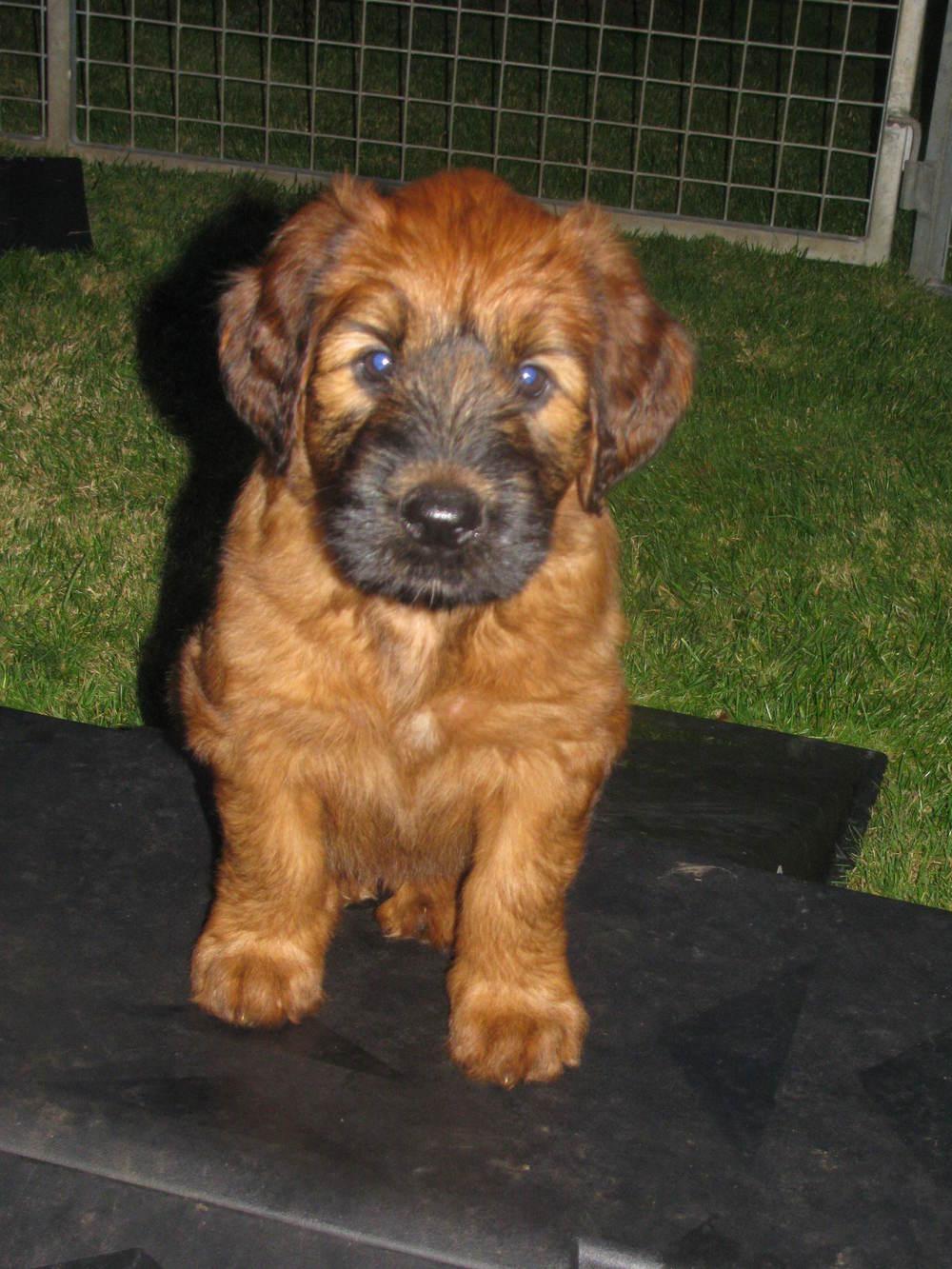 Ella x Dougal Pups 6weeks 016.JPG