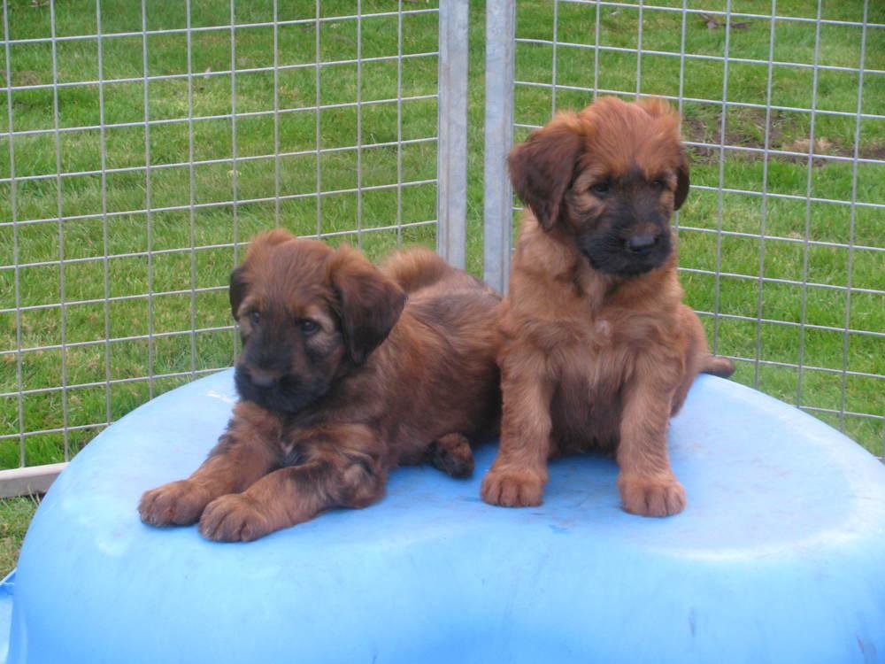 Ella x Dougal Pups 7 weeks 049.JPG