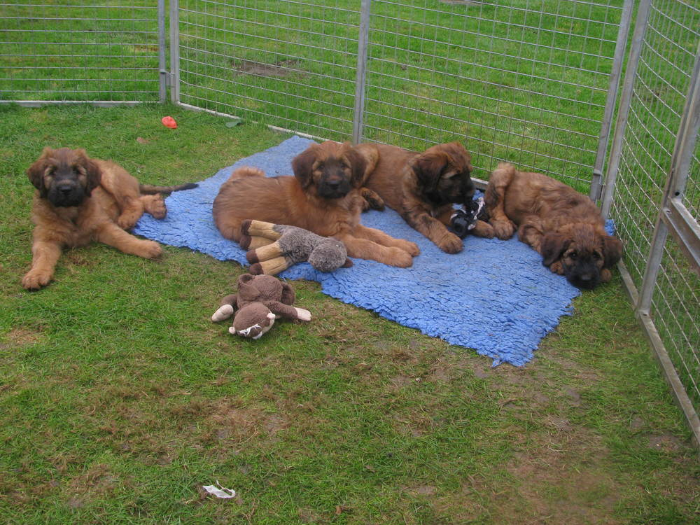 Ella x Dougal Pups 9 weeks 013.JPG