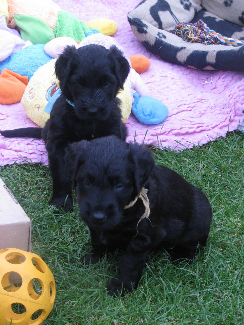Ella x Dougal Pups 016.JPG