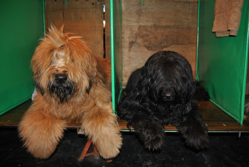 The Boys Crufts 2013.jpg