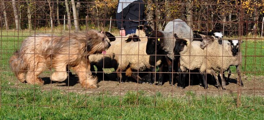 1st herding lesson d.jpg