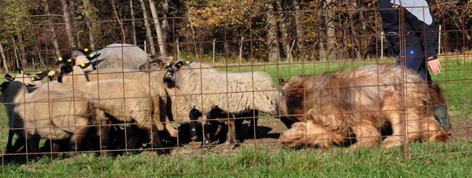 1st herding lesson f.jpg