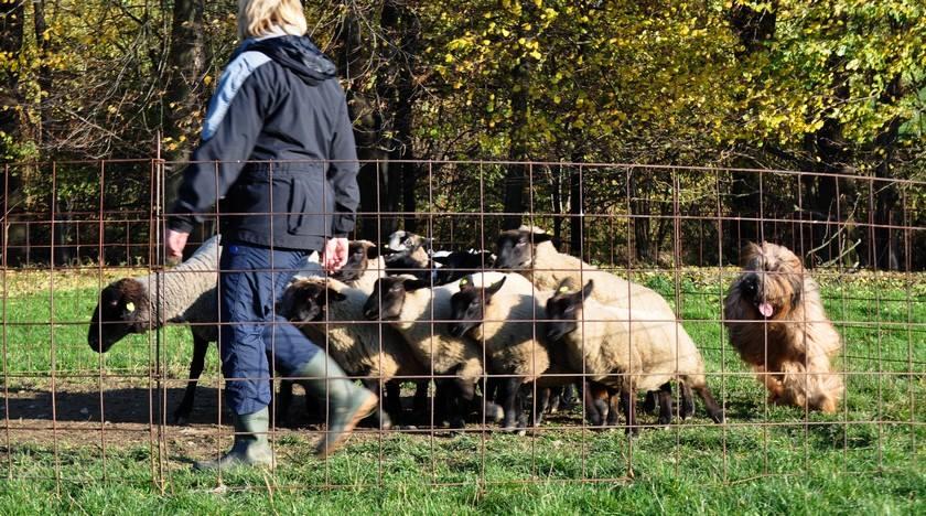1st herding lesson h.jpg