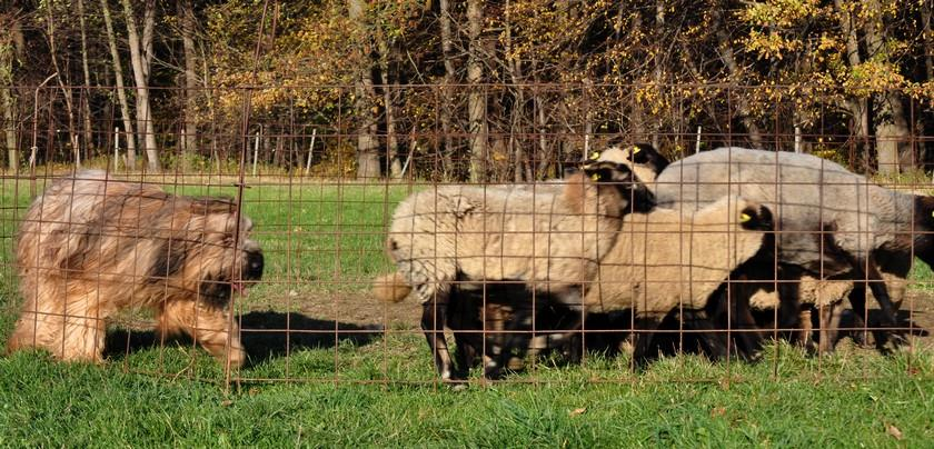 1st herding lesson j.jpg