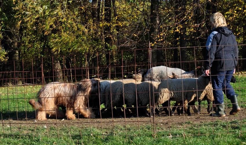 1st herding lesson.jpg