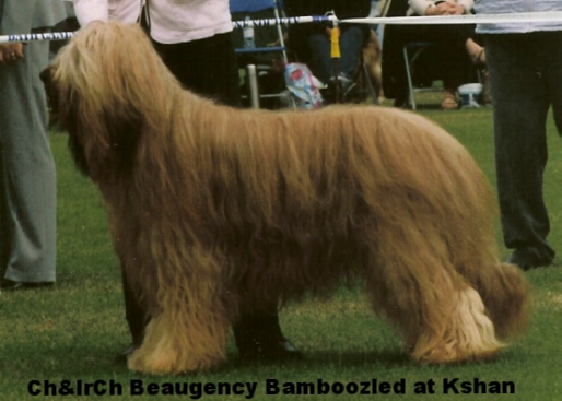 Fawn brother CH & IRISH CH Beaugency Bamboozled at K'shan